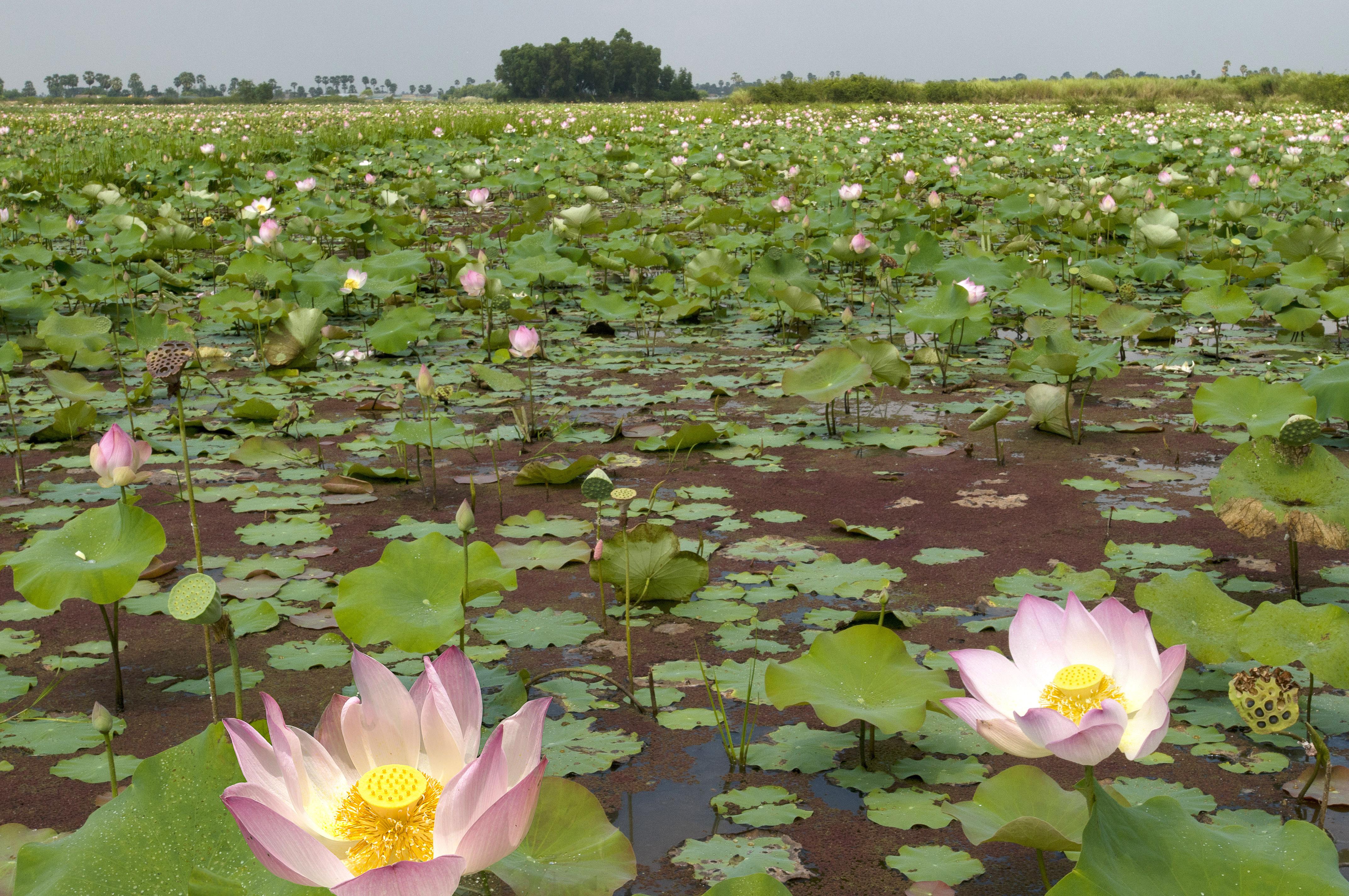 Lotusblumenfeld am Sangker Fluss © Regina Fischer-Cohen