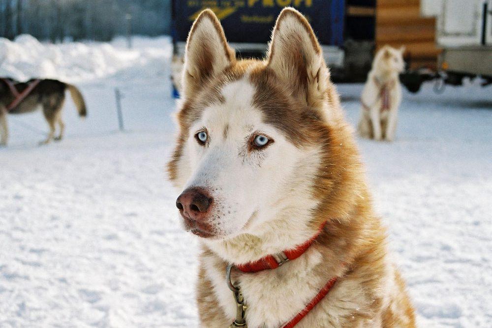 Schlittenhund in Werfenweng