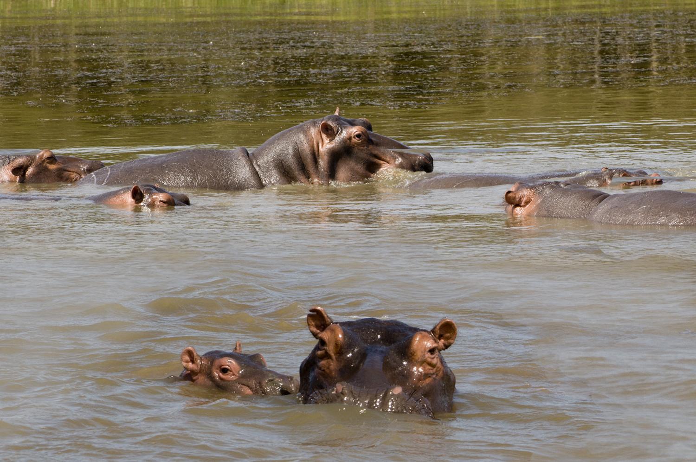 KwaZulu-Natal, iSimangaliso Wetland Park, Flusspferdfamilie, Südafrika ©Regina Fischer-Cohen