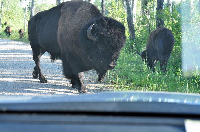 Bisons im Riding Mountain Nationalpark