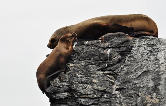 Seelöwen Chile