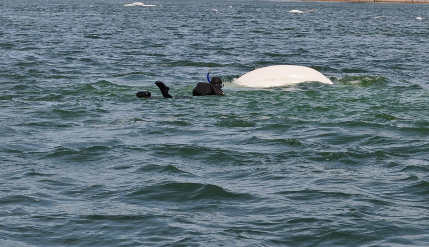 Belugas Hudson Bay