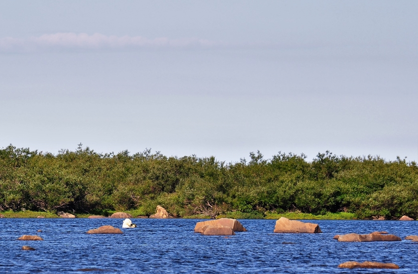Eisbär an der Hudson Bay