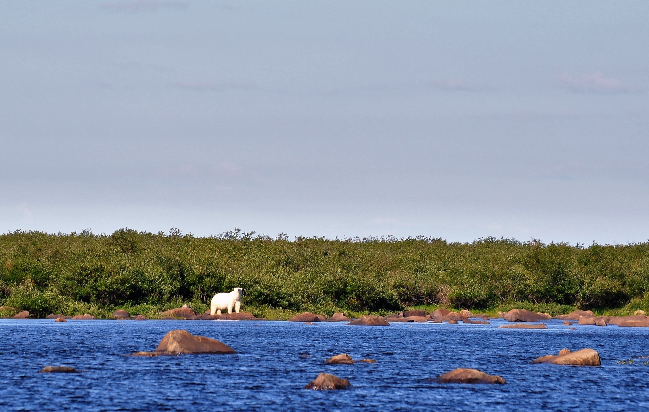Eisbär am Seal River in der Hudson Bay