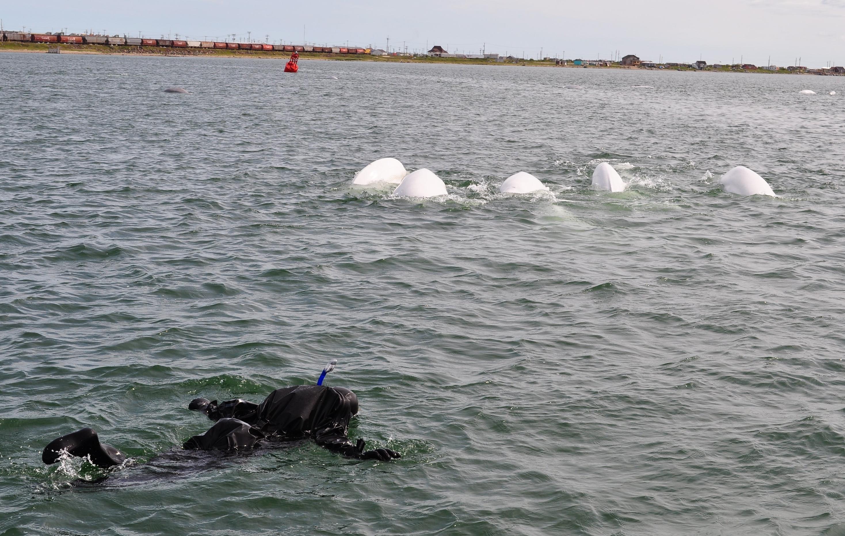 Schnorcheln mit Belugas im Churchill River
