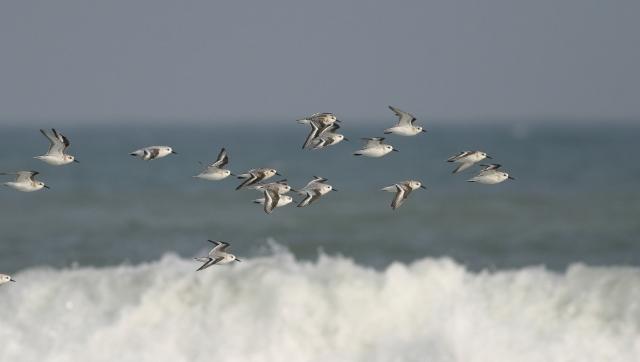 Dänemark Strandläufer Zugvogelzentrum