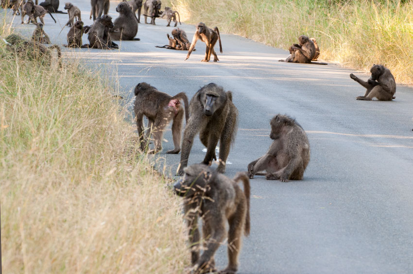 Affenbande in Südafrika