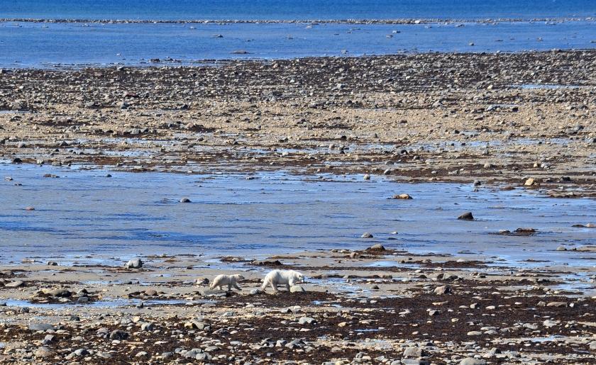 Eisbären Hudson Bay