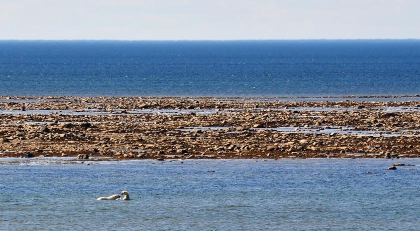 Eisbären baden in der Hudson Bay