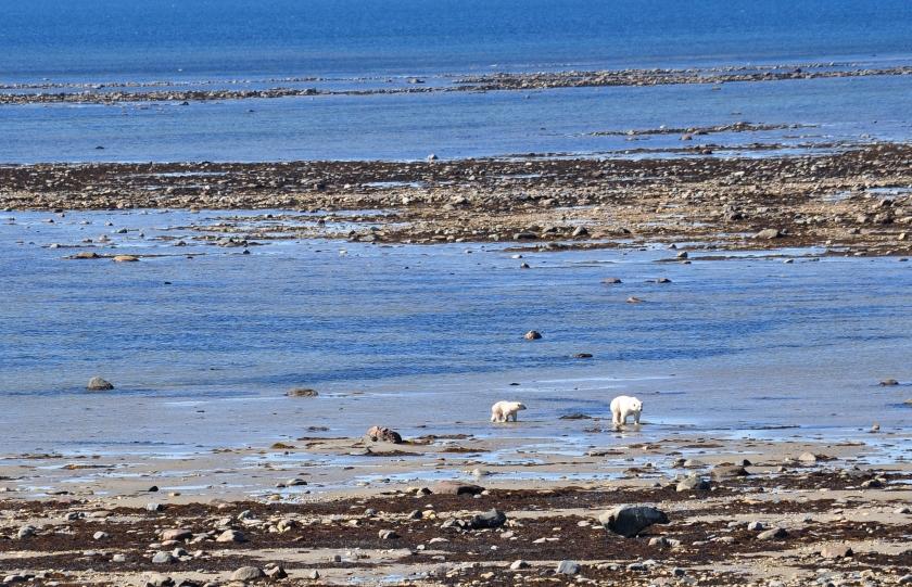 Eisbärenmutter an der Hudson Bay