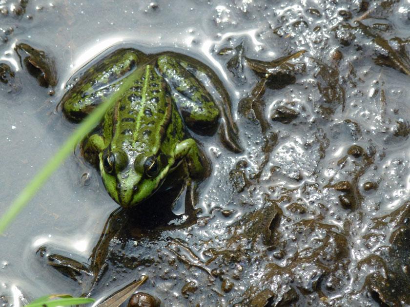 Typischer Wakenitz Bewohner: ein Frosch
