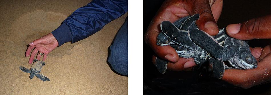 Lederschildkröten im iSimangaliso Wetland Park