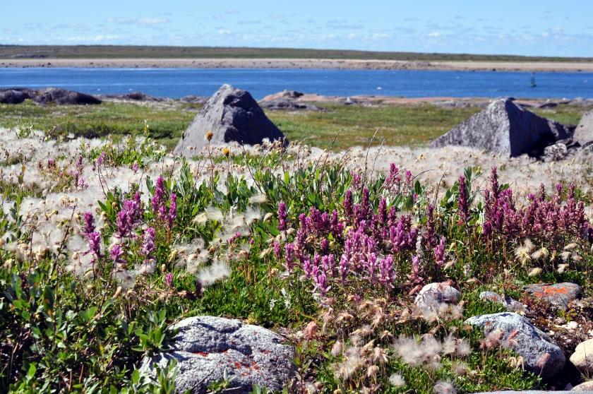 Sommer in Churchill - am Cape Merry treibt die Natur es aber auch bunt