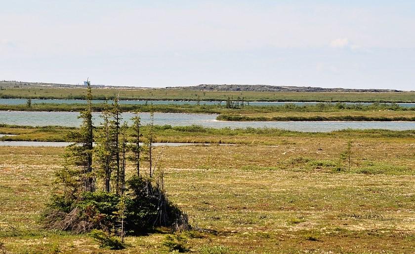 Fichtengruppe in der Tundra bei Churchill in Manitoba