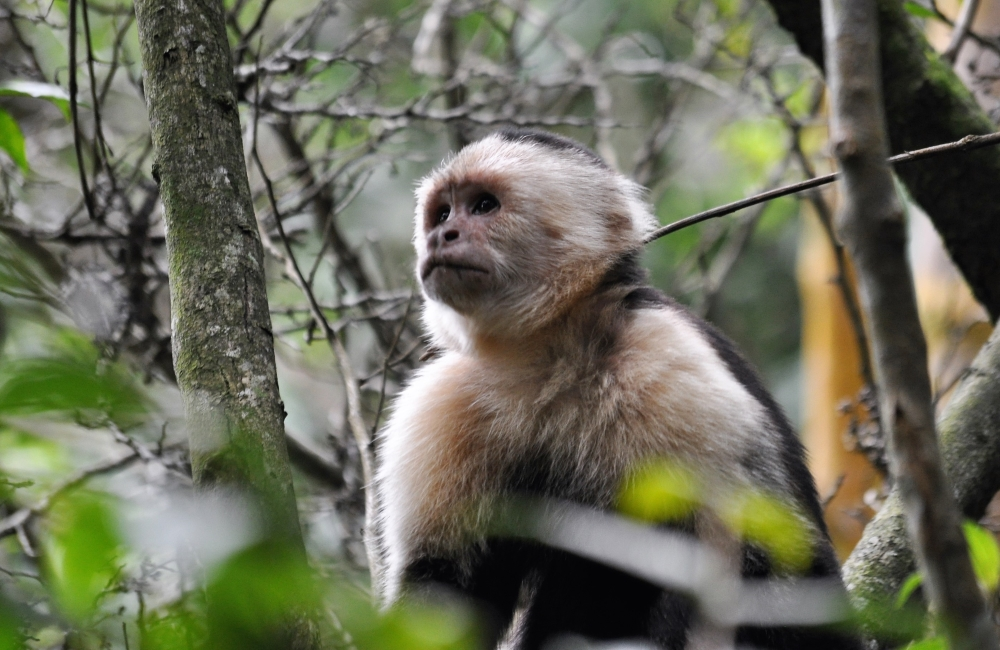 Kapuzineraffe im Nebenwald von Monteverde in Costa Rica