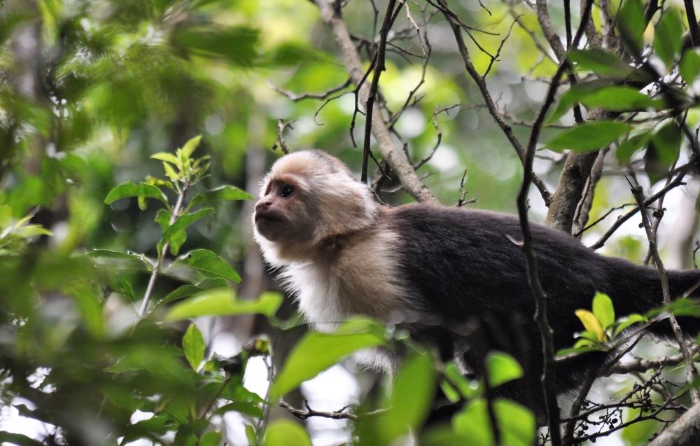 Kapuzineraffe im Nebelwald von Monteverde in Costa Rica