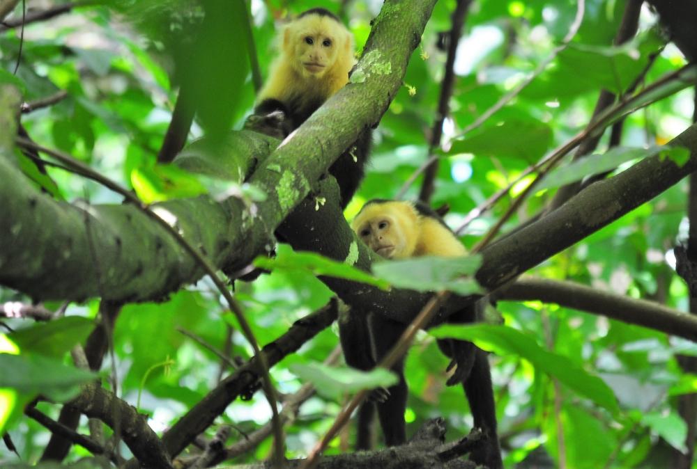 Kapuzineraffen auf der Hacienda Barú in Costa Rica