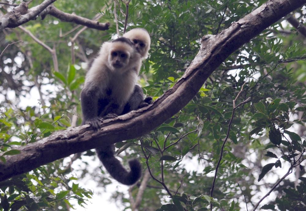 Kapuzineraffen im Nebelwald von Monteverde in Costa Rica