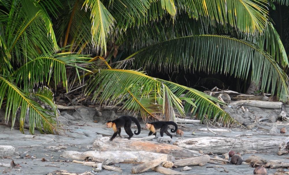 Kapuzineraffen am Strand von Montezuma in Costa Rica