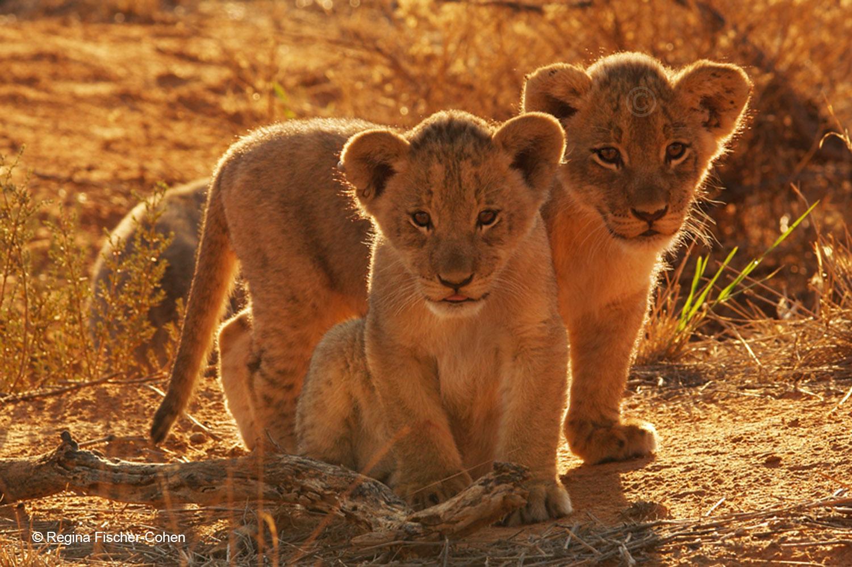 Das grausame Geschäft mit den Löwenbabys ©Regina Fischer-Cohen