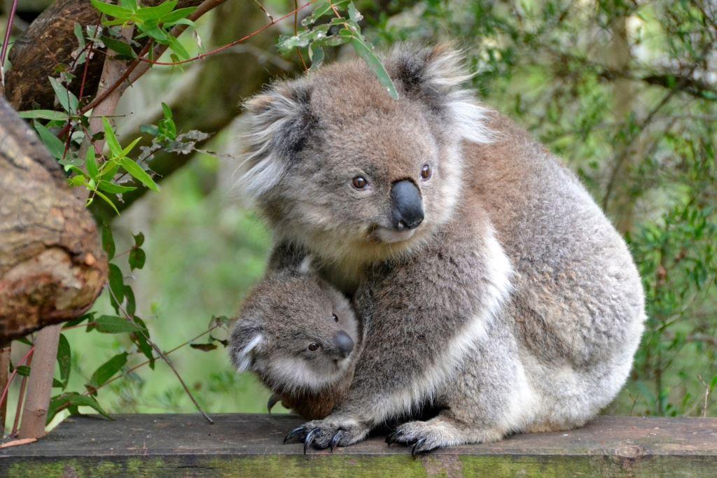 Koalas auf Phillip Island