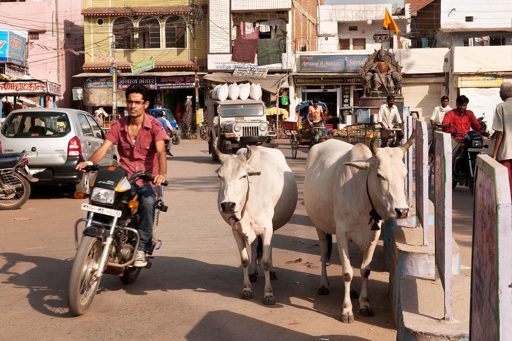 Heilige Kühe und andere Hindernisse auf Indiesn Straßen ©Regina Fischer-Cohen