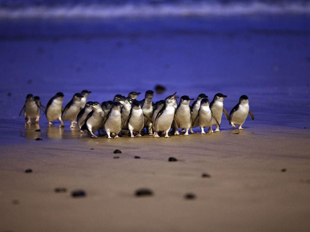 Pinguinparade auf Phillip Island