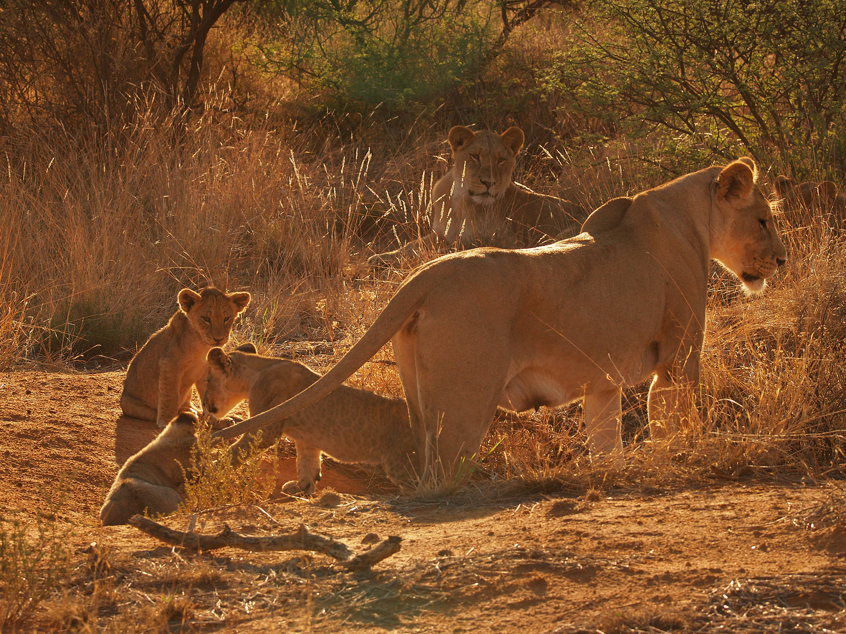 #South Africa, lioness wiuth cubs