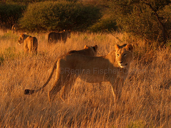 #South Africa, #lionesses, #safari