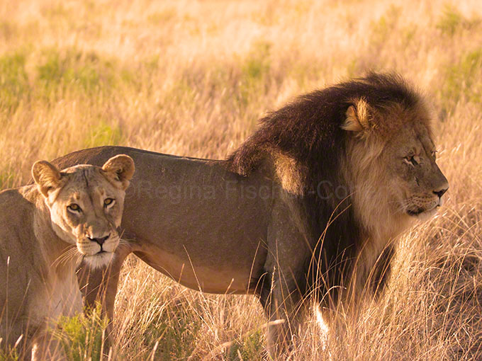 #South Africa, #Kalahari Tranfrintier Park, #lions in love