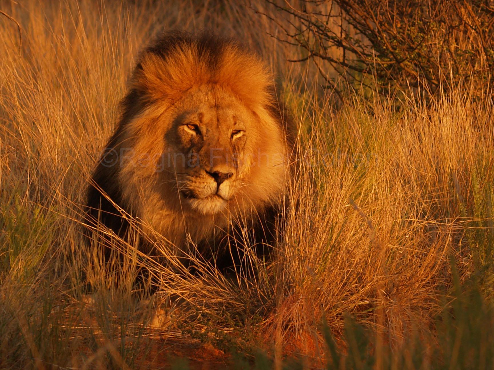 #Südafrika, #Löwenpascha