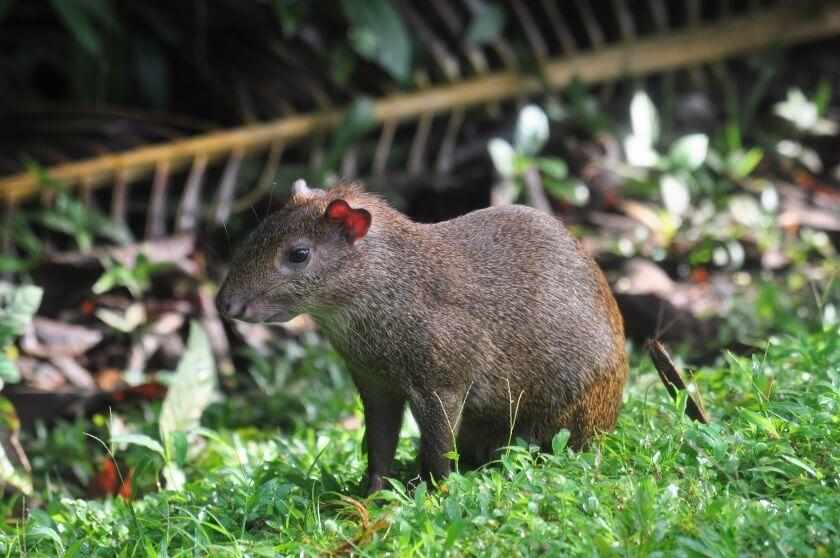 Agouti im Nationalpark Isla Coiba