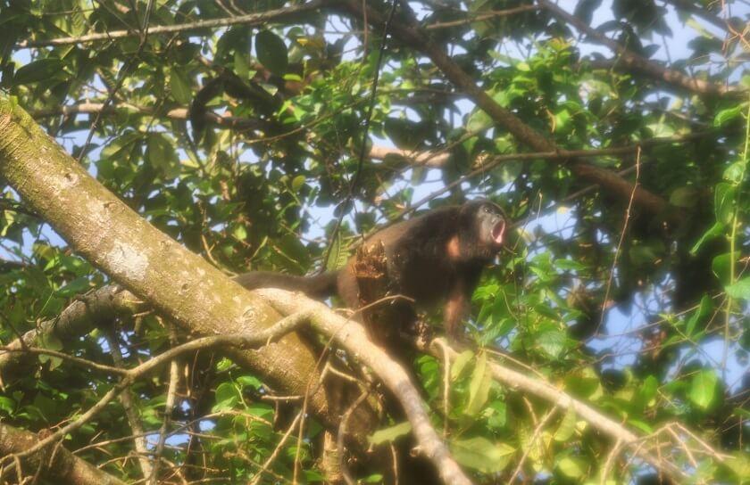 Brüllaffen bei der Regenwaldwanderung auf der Isla Coiba in Panama