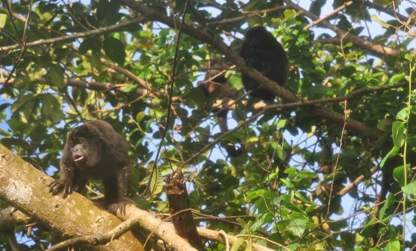 Brüllaffen bei der Regenwaldwanderung im Nationalpark Isla Coiba in Panama