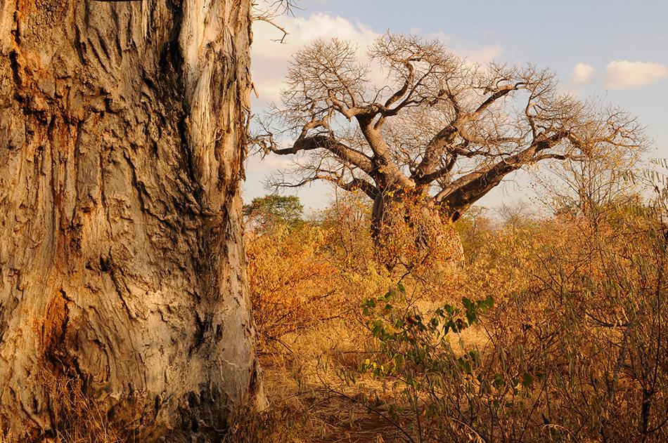 Baobabs bzw. Affenbrotbäume