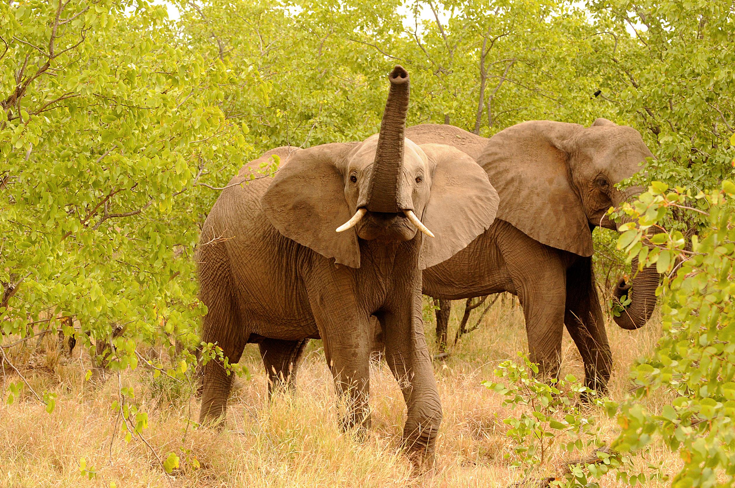 Die Sprache der Elefanten