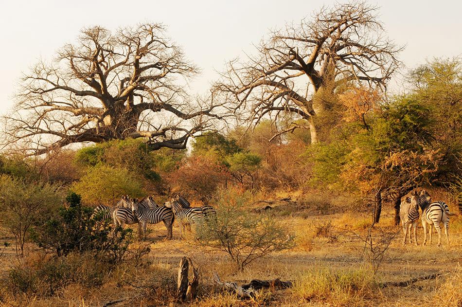 Baobabs bzw. Affenbrotbäume im Norden des Krüger Nationalparks